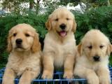 苏州本地出售 完美品相 签协议纯种健康  金毛犬
