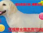 送心上人犬舍促销神犬小七拉布拉多 保纯种健康 基地直销