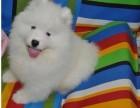 苏州本地犬舍出售2个多月的,萨摩耶,血统纯种,保证健康
