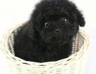泰迪幼犬多少钱.专业繁殖基地 品质有保障