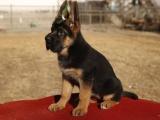 长沙出售德国牧羊犬弓背黑背德牧犬狼狗猎犬看家护院活体幼犬
