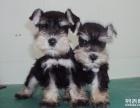 小伙伴一出售纯种雪纳瑞犬一送用品一签协议一包养活