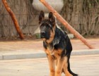 精品大头锤系幼犬出售,可以做种繁育 价格低廉实惠