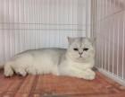 青岛正规宠物猫店出售各种品种猫不是南山市场后院猫