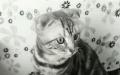 七个月折耳母猫一枚