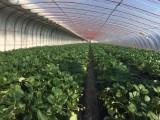 烟台福山区赵家庄生态草莓采摘,孕妇孩子放心采摘的草莓