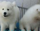 精品萨摩耶幼犬一证书齐全一血统纯赠送用品签协议