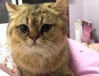出售自家养的小公猫