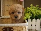 純種茶杯犬泰迪幼犬 出售各色純種泰迪幼犬 韓系玩具