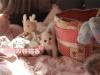 纯种布偶猫出售 疫苗