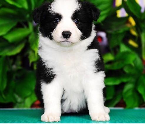 苏州边境牧羊犬一本地养殖狗场一直销各种世界名犬 常年售卖