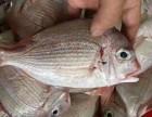 野生海鲜来自东山岛海鲜可以配送到大连全范围了只要24小时