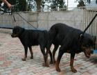cku注册五星级犬舍 双血统罗威纳可上门挑选