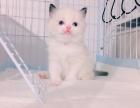 布偶猫海豹双色布偶猫