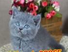 情人节出售高品质蓝猫品相可爱 包终身售后