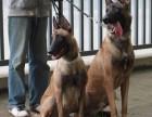 出售纯种比利时马犬公母均有驱虫疫苗已打好