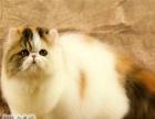 出售波斯猫纯种波斯猫幼猫 蓝白色波斯猫宠物猫包