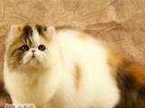 梵三花波斯猫宠物猫活体波斯猫幼猫纯种宠物波斯猫纯种