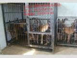 自家养的马犬便宜出售 马犬图片