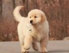 中国专业繁殖双血统金毛犬犬舍 可以上门挑选