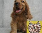 可卡犬狗场繁殖现售幼犬 品种优质 带证书 可送货
