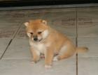 日系赛级柴犬专卖 训练过坐 立 卧 上厕所都会