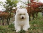 纯种萨摩耶幼犬出售 微笑天使萨摩 品相好