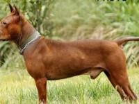 川东猎犬中国最古老的猎犬 搜山上山 打野一流 忠诚极品川东