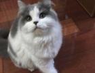 英短英国短毛猫蓝白正八字脸妹妹