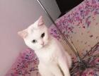 可爱猫咪领养波斯猫