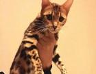 精品短毛猫出售,有售后,有连锁店可上门看猫