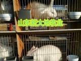 出售獭兔,长毛兔,杂交野兔,肉兔,兔苗种兔可回收