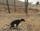 格力犬 黑白都可以试牛逼