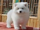 基地直销大头大骨架 萨摩耶幼犬 出售 包健康可上门