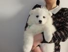 深圳高端萨摩耶犬 特价直销 健康质保 欢迎选购