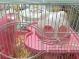 金丝熊仓鼠赠笼子 公的2只