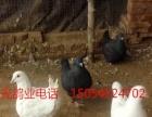 出售白元宝,黑元宝,红元宝,黄眼睛球,天使鸽,芙蓉,跟头鸽等