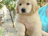 济南哪里有金毛出售 金毛寻回犬一般的多少钱 纯种健康金毛价格