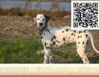 哪里出售斑点狗犬 纯种斑点狗多少钱