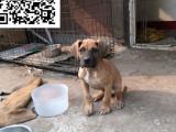 哪里有卖大丹犬 大丹犬多少钱 大丹犬图片