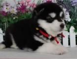 佛山禅城哪里有卖阿拉斯加犬 阿拉斯加犬小狗价格