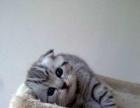 猫舍直销 渐层 蓝猫 虎斑 卷耳猫等 赠海量用品