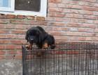 济南本地犬舍出售2个多月的,罗威纳,血统纯正,保证健康