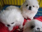 自家养的京巴狗狗超生了,没有时间照顾,找爱狗人免费领养