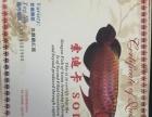 自家印尼血麒麟红龙超低价出售