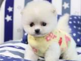 哪里出售博美犬 纯种博美多少钱