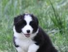 纯种边境牧羊犬出售,健康保证,血统保证,信誉保证