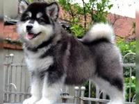 钦州哪里出售纯种阿拉斯加犬幼犬巨型雪橇犬阿拉斯加多少钱