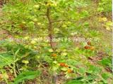 陕西枣树苗供应商