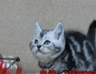 自家专业喂养纯种健康美短虎斑猫疫苗齐全健康可爱